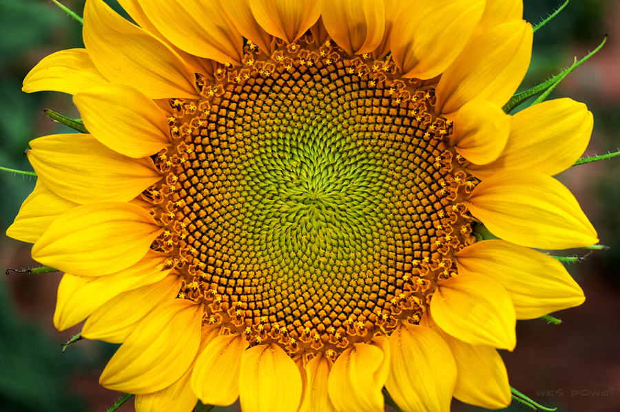 This image is a close-up of a sunflower. The wonders of geometry occurring in the natural world are quite evident in this photograph.  The central disk of the sunflower shows hundreds of stamen arranged in overlapping spiral formations, creating an unmistakable geometric pattern.